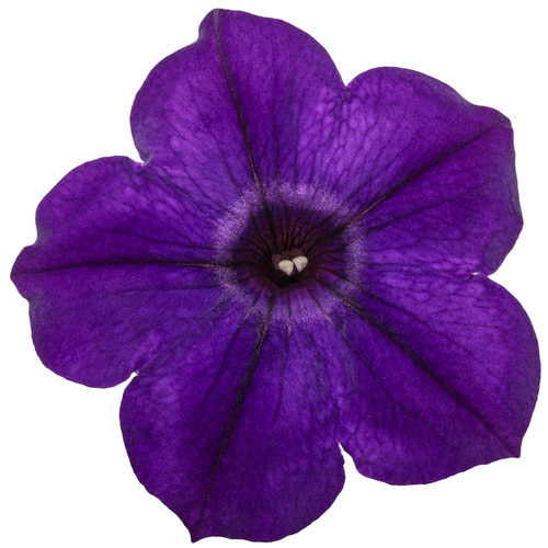 supertunia_royal_velvet_improved_macro_02.jpg