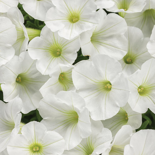 Supertunia® Mini Vista™ White - Petunia hybrid