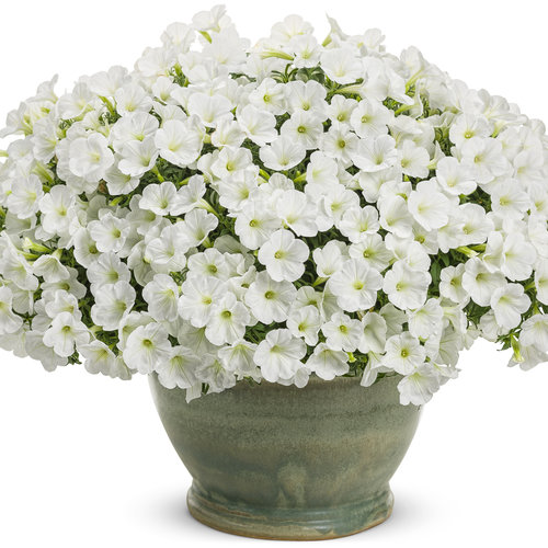 supertunia_white_charm_mono.jpg