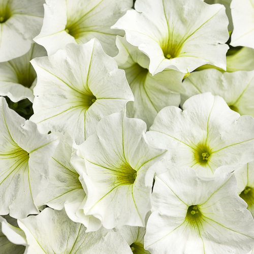 Supertunia® White - Petunia hybrid