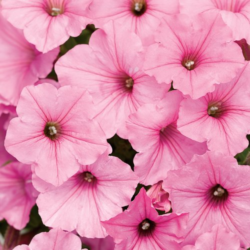 Supertunia Vista® Bubblegum® - Petunia hybrid