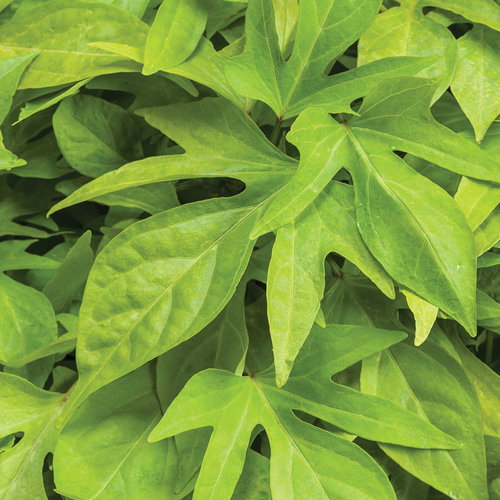 Sweet Caroline Kiwi™ - Ornamental Sweet Potato Vine - Ipomoea batatas