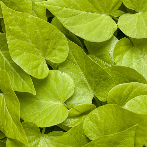 Proven Accents® Sweet Caroline Sweetheart Lime - Sweet Potato Vine - Ipomoea hybrid