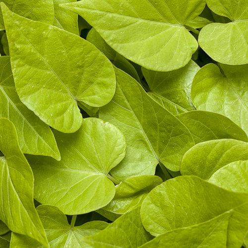Sweet Caroline Sweetheart Lime - Sweet Potato Vine - Ipomoea hybrid