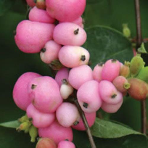 Amethyst™ - Coral Berry - Symphoricarpos x doorenbosii