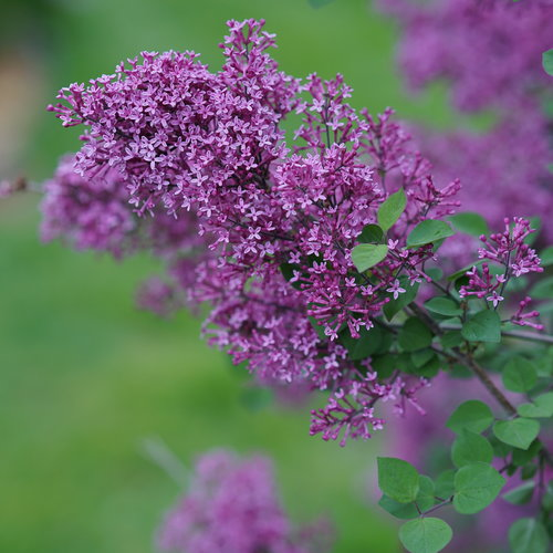 syringa_bloomerang_dark_purple_dsc03180.jpg