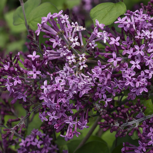syringa_bloomerang_dark_purple_img_0744.jpg