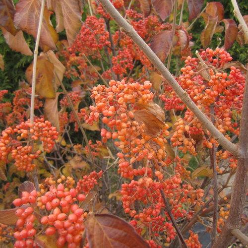tandoori_orange_viburnum_fall_color.jpg