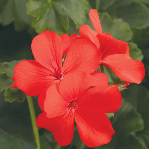 Timeless™ Orange - Geranium - Pelargonium hybrid