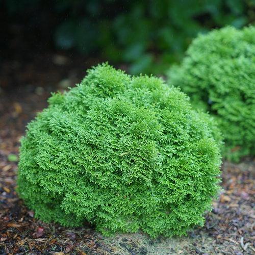 Tater Tot® - Arborvitae - Thuja occidentalis