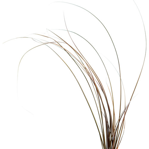 toffeetwistgrass.jpg