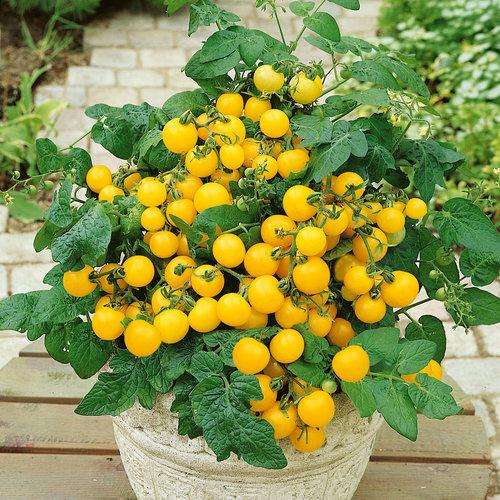 tomato-patio-sunshine-yellow.jpg
