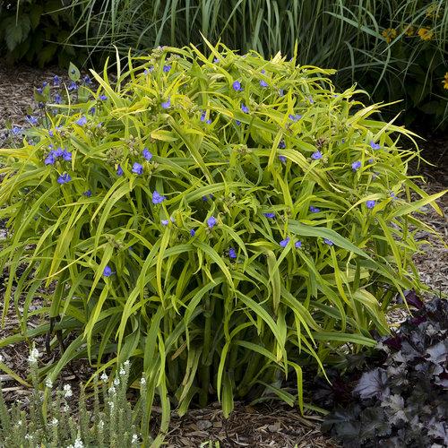 'Charlotte's Web' - Spiderwort - Tradescantia hybrid