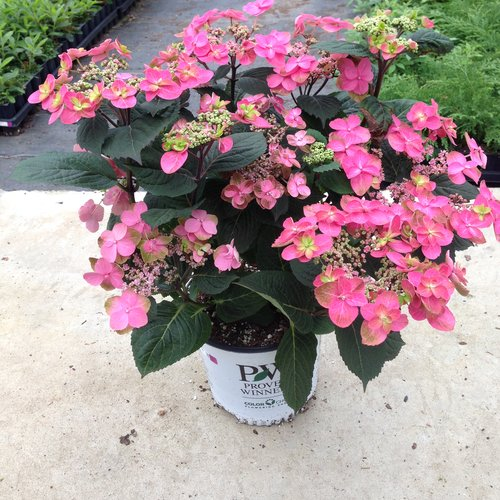 tuff_stuff_red_mountain_hydrangea_growing_serrata_proven_winners.jpg