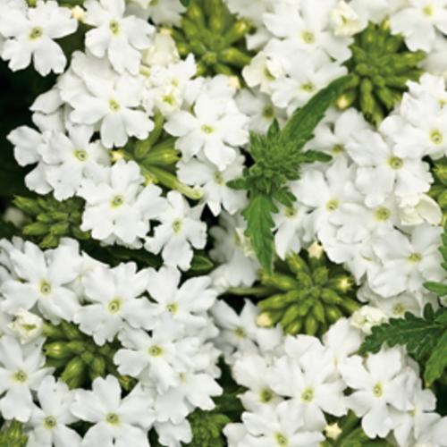 Tukana® White - Verbena hybrid | Proven Winners