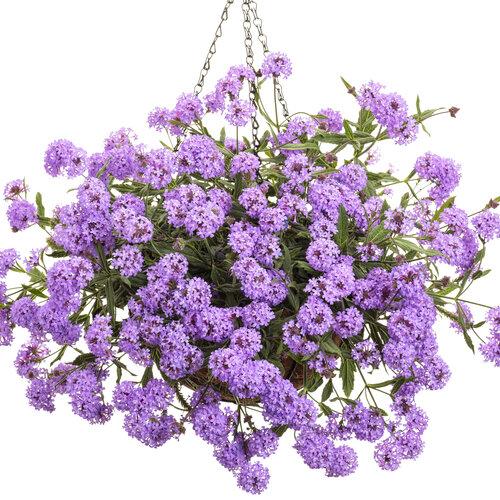 verbena_cake_pops_purple_basket.jpg