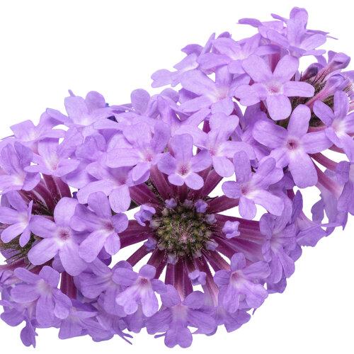 verbena_cake_pops_purple_macro_03.jpg
