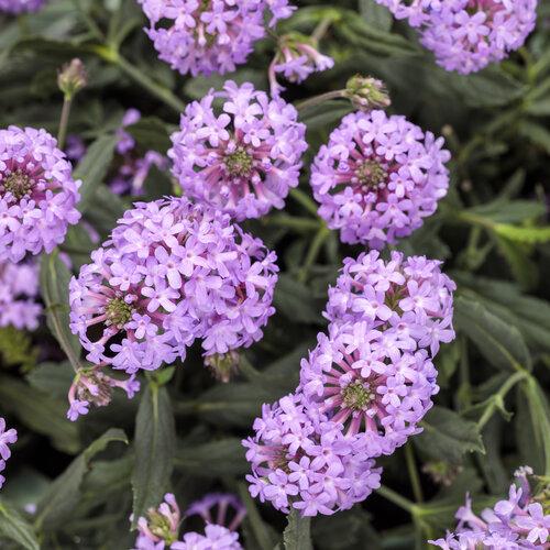 Cake Pops™ Purple - Tuberous Verbena - Verbena rigida