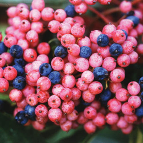 Brandywine™ - Viburnum nudum