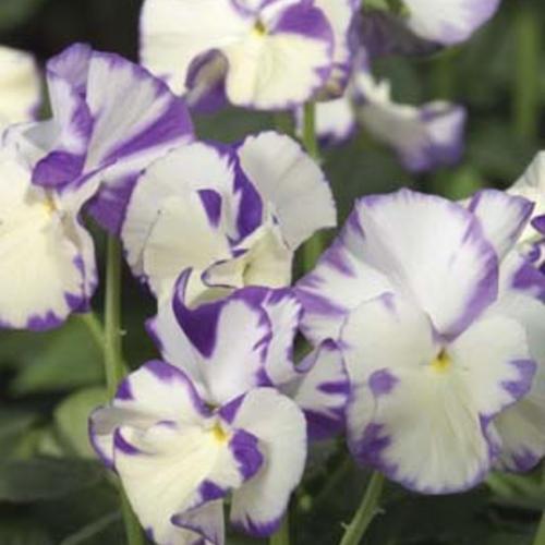 Rebecca - Viola hybrid
