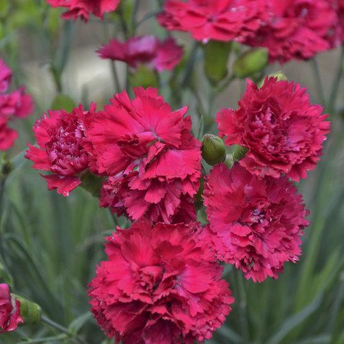 waltersgardens-hi24923-dianthus-fruit-punch-reg-cranberry-cocktailppaf-cpbraf.jpg