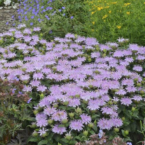 'Leading Lady Lilac' - Bee Balm - Monarda hybrid