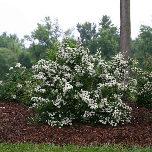 wedding_cake_spirea_habit.jpg