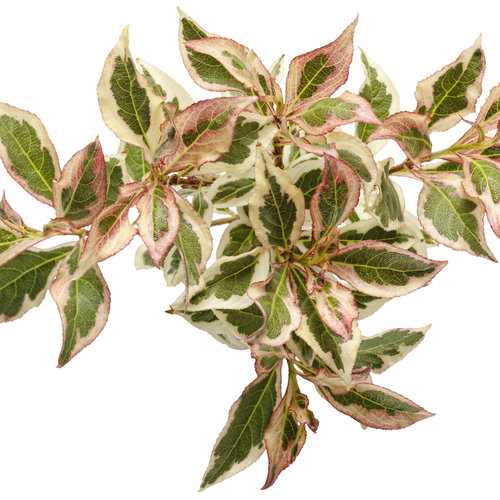 weigela_my_monet_01.jpg
