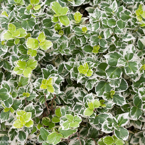 White Album® - Wintercreeper - Euonymus fortunei