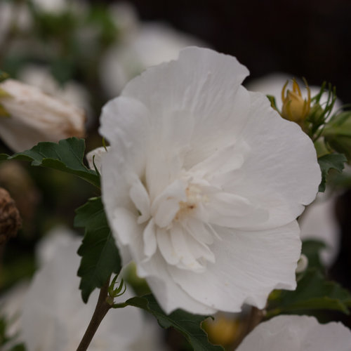 white_chiffon_hibiscus-3696.jpg