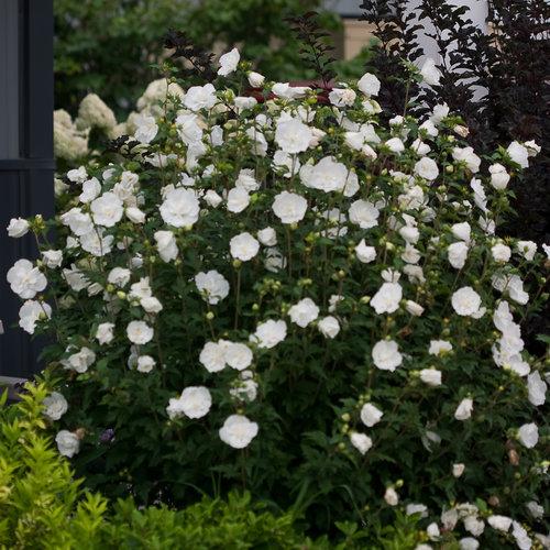 white_chiffon_hibiscus-3701.jpg