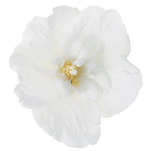 white_chiffon_hibiscus.jpg