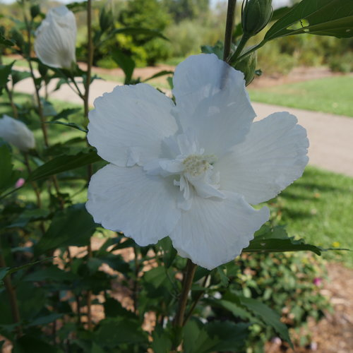 white_pillar_rose_of_sharon_2.jpg