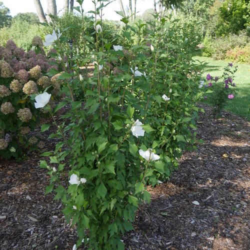White Pillar Rose Of Sharon Hibiscus Syriacus Proven Winners
