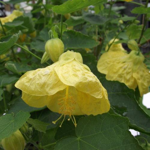 Yellow Finch - Flowering Maple - Abutilon hybrid