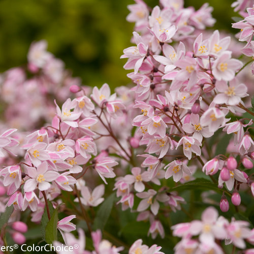 yuki_cherry_blossom_deutzia_-0050.jpg
