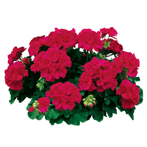 Americana® Cherry Rose - Zonal Geranium - Pelargonium zonale