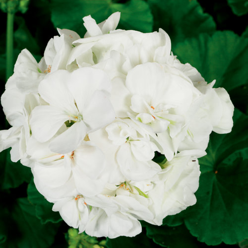 zonal_geranium_americana_white_bloom_13701.jpg