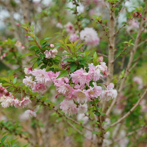 Zuzu Ornamental Cherry Prunus Incisa Proven Winners