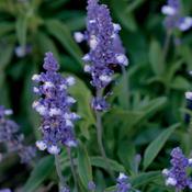 Blue Frost - Blue Sage - Salvia farinacea
