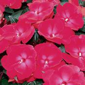 Infinity® Cherry Red - New Guinea Impatiens - Impatiens hawkeri