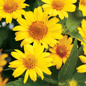 'Tuscan Sun' - Perennial Sunflower - Heliopsis helianthoides