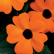 Orange A-Peel® - Black-Eyed Susan Vine - Thunbergia alata