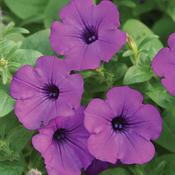 Supertunia® Indigo Charm - Petunia hybrid