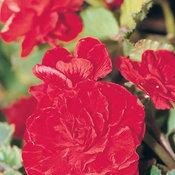 2162_7-begonia-red.jpg