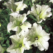 Surfinia® Lime - Petunia – These Vigorous Annual Flowers Offer Versatility and Variety hybrid