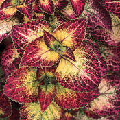 Mt. Washington™ - Coleus - Solenostemon scutellarioides