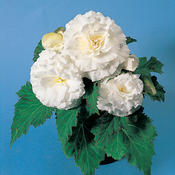 Nonstop® White - Tuberous Begonia - Begonia x tuberhybrida