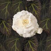 Nonstop® Mocca White - Tuberous Begonia - Begonia x tuberhybrida