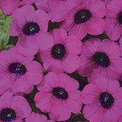 Blanket® Purple - Petunia hybrid